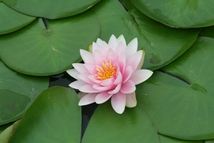 Pink Lotus by Brian Hunsberger